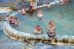 Snow Monkey in the Monkey Spa stock image