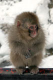 Snow monkey, Nagano prefecture, Japan Stock Images