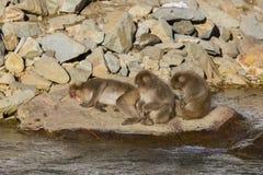 Snow Monkey Nap Time Stock Photos