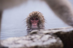 Snow monkey on onsen. Snow baby monkey on onsen Royalty Free Stock Images