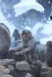Snow Monkey in the onsen Stock Images