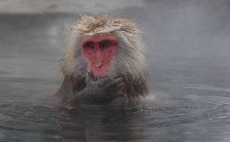 Snow monkey in onsen Royalty Free Stock Images