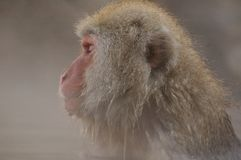 Snow monkey in onsen Stock Photos