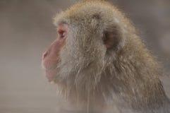 Snow monkey in onsen Stock Photos