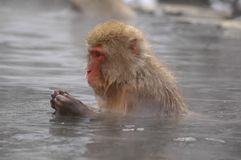 Snow monkey in onsen Stock Photo