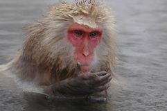 Snow monkey in onsen Stock Images
