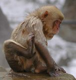 Snow monkey in onsen Royalty Free Stock Photography