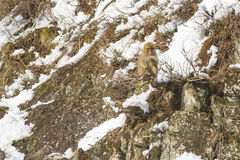 Snow Monkey Out on a Branch, Sucking a Twig. A fuzzy wild snow monkey sits precariously on a limb of a bush jutting out from rocks on the side of a snow covered Royalty Free Stock Photos