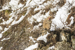 Snow Monkey Out on a Limb, Chewing a Twig. A fuzzy wild snow monkey sits precariously on a limb of a bush jutting out from rocks on the side of a snow covered Royalty Free Stock Photos