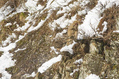 Snow Monkey Out on a Limb, Twig in Hand. A fuzzy wild snow monkey sits precariously on a limb of a bush jutting out from rocks on the side of a snow covered Stock Image