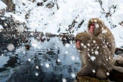 Snow Monkey Royalty Free Stock Image