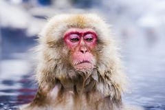 Snow Monkey Park Stock Photography