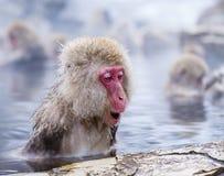 Snow Monkey Park Royalty Free Stock Photo