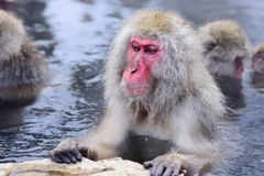 Snow Monkey Park. Macaques bath in hot springs in Nagano, Japan Royalty Free Stock Photo
