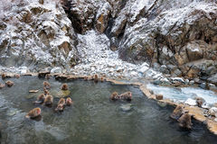 Snow Monkey Park, Yamanouchi, Japan. Royalty Free Stock Photo