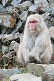 Snow monkey pondering life. Photograph of a Japanese Macaque sitting on a rock watching the world pass by Stock Images