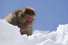 Snow Monkey Stock Photos