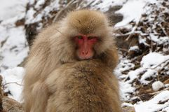 A Snow Monkey. A Portrait of a Snow Monkey Looking at You royalty free stock photo