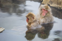 Snow Monkey Relaxation with Reflections in Still Water Stock Photo