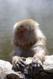 Japanese macaque (Nihon-zaru) Royalty Free Stock Photography