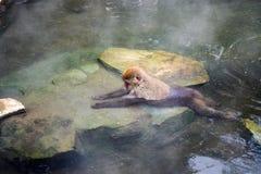 Snow monkey relaxing in onsen (Japanese thermal pool). Jigokudani Yaen-Koen, Japan Stock Photography