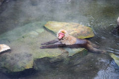 Snow monkey relaxing in onsen (Japanese thermal pool). Jigokudani Yaen-Koen, Japan Royalty Free Stock Photos