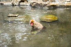 Snow monkey relaxing in onsen (Japanese thermal pool). Jigokudani Yaen-Koen, Japan Royalty Free Stock Images