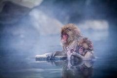 Snow monkey's relax time. Royalty Free Stock Photo