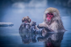 Snow monkey's relax time. Royalty Free Stock Photos