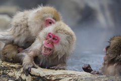 Snow Monkey Screaming. Under attack while in the hot steamy water, a fuzzy brown red-faced wild snow monkey holding onto a rocky ledge screams in displeasure Royalty Free Stock Image