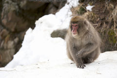 Snow monkey sit on snow. Royalty Free Stock Photography
