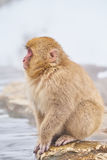 Snow monkey sitting at hot pool Royalty Free Stock Image