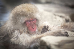 Snow monkey sleep and relax in hot spring Royalty Free Stock Photos