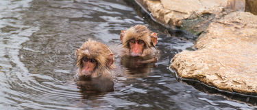 Snow Monkey in the spa Stock Image