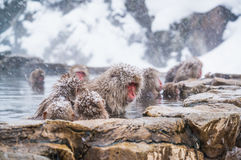 Snow Monkey in the spa Royalty Free Stock Photos