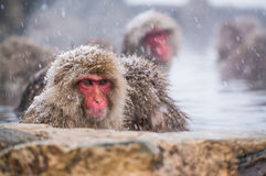 Snow Monkey in the spa royalty free stock photo