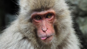 A Snow Monkey sticking out tongue Royalty Free Stock Image