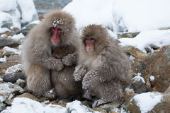 Snow monkey. Three snow monkey stay together Stock Image