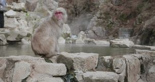 Snow monkey walks along the rim of an onsen, hot spring, then turns to look around stock video