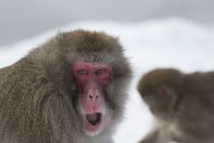 Snow monkey in winter cuddle up with adults with snow background. Close up portrait and facial expression Stock Photos
