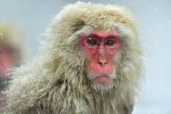 Snow monkey. Winter season.  The Japanese macaque  Scientific name: Macaca fuscata, also known as the snow monkey. Snow monkey on the snow. Winter season.  The Stock Photography