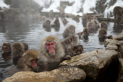 Snow monkeys Stock Image