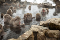 Snow monkeys Royalty Free Stock Photo