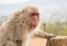 Snow Monkeys enjoying a Fall Day in Japan stock photo