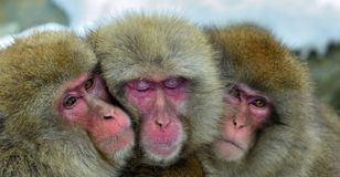 Snow monkeys family warming themselves against on cold winter weather.  Jigokudani Park, Yudanaka. Nagano Japan. The Japanese maca. Que  Scincific name: Macaca Stock Photography