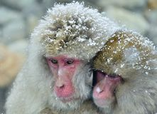 Snow monkeys family warming themselves against on cold winter weather.  Jigokudani Park, Yudanaka. Nagano Japan. The Japanese maca. Que  Scientific name: Macaca Royalty Free Stock Photo