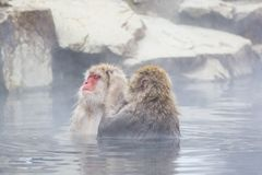 Snow Monkeys Getting Groomed in Water. In this steamy hot springs, the red-faced fuzzy, brown snow monkey sitting in a whirlpool of water  is being groomed by Royalty Free Stock Photos