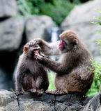 Snow Monkeys grooming. Two Japanese snow monkeys sitting on rock formation grooming, while one holds the others head and trying to put something in his mouth stock photography