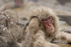 Snow monkeys grooming in hot spring Royalty Free Stock Photography