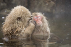 Snow Monkeys Grooming In Hot Spring Royalty Free Stock Photo